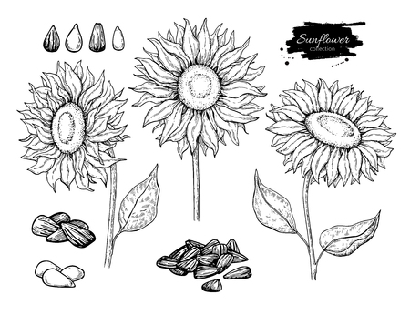Sunflower seed and flower vector drawing set. Hand drawn isolated illustration. Food ingredient vintage sketch.  Great for oil packaging design, label, banner, poster Фото со стока - 81166843
