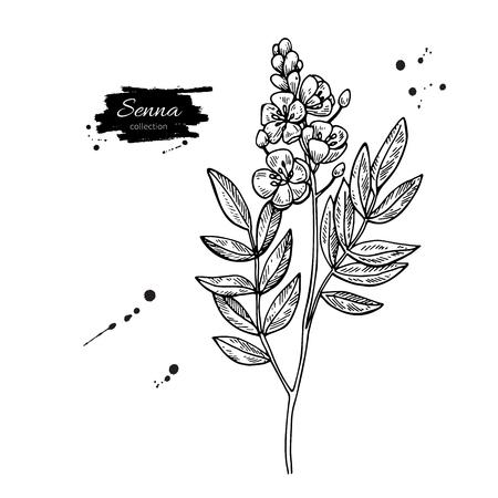 세나 벡터 드로잉입니다. 격리 된 의료 꽃과 나뭇잎입니다. 초본 새겨진 된 스타일 그림입니다. 차, 유기 화장품, 의학, 아로마 테라피에 대한 자세한