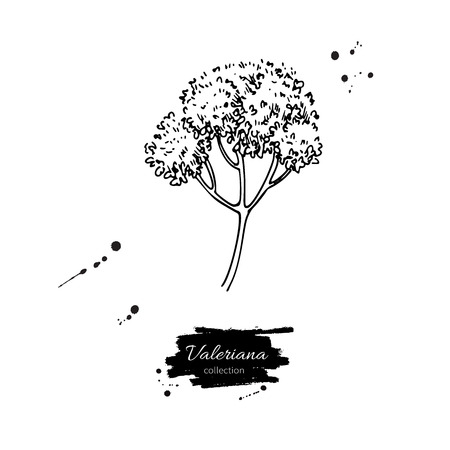 Valeriana officinalis vector drawing. Isolated medical flower. Herbal engraved style illustration. Detailed botanical sketch for tea, organic cosmetic, medicine, aromatherapy illustration.