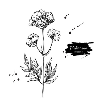 Valeriana officinalis vector drawing. Isolated medical flower and leaves. Herbal engraved style illustration. Detailed botanical sketch for tea, organic cosmetic, medicine, aromatherapy illustration.