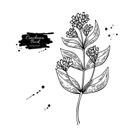 キニーネ キニーネ ベクトル描画します。分離医療花と葉。ハーブの刻まれたスタイルの図。紅茶、有機化粧品、医学、アロマセラピーの図の植物ス