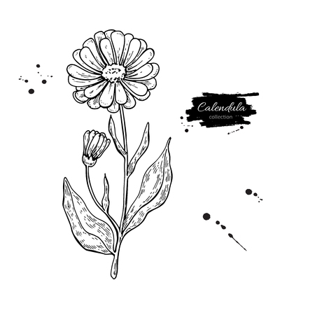 officinalis: Calendula vector drawing. Isolated medical flower and leaves. Herbal engraved style illustration.
