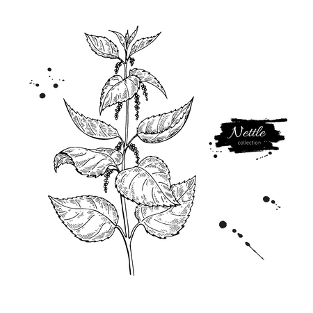 쐐기풀 벡터 드로잉입니다. 격리 된 의료 식물 나뭇잎입니다. 초본 새겨진 된 스타일 그림입니다. 상세한