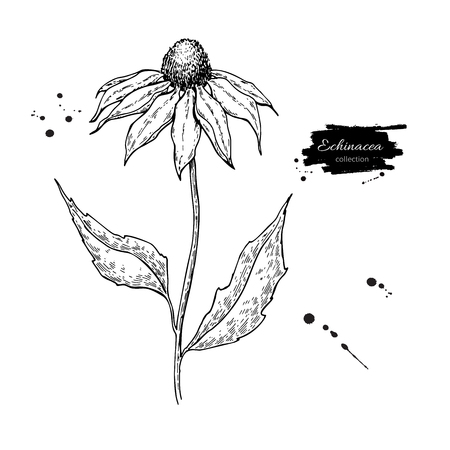Echinacea vector tekening. Geïsoleerde purpureabloem en bladeren. Kruiden gegraveerde stijlillustratie.