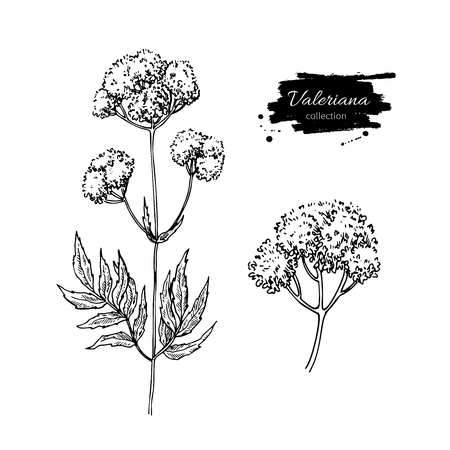 officinalis: Valeriana officinalis vector drawing. Isolated medical flower and leaves set herbal engraved style illustration. Detailed botanical sketch for tea, organic cosmetic, medicine, aromatherapy
