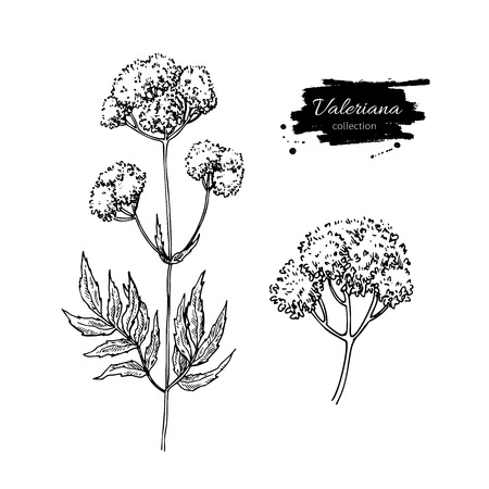 Valeriana officinalis vector drawing. Isolated medical flower and leaves set. Herbal engraved style illustration. Detailed botanical sketch for tea, organic cosmetic, medicine, aromatherapy