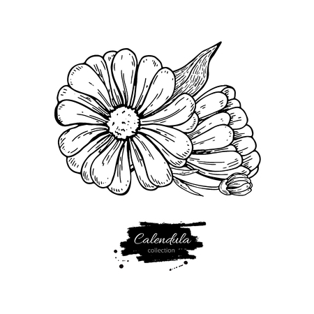 Calendula drawing illustration. Illustration