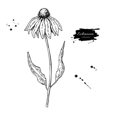 Calendula drawing illustration. Ilustrace