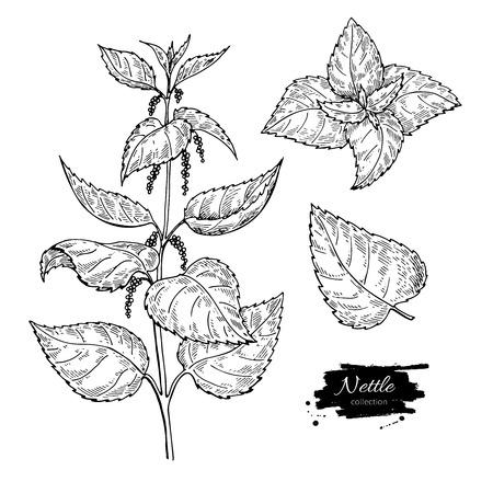 イラクサの図面。隔離された医療植物を葉します。ハーブの刻まれたスタイルの図。詳細です