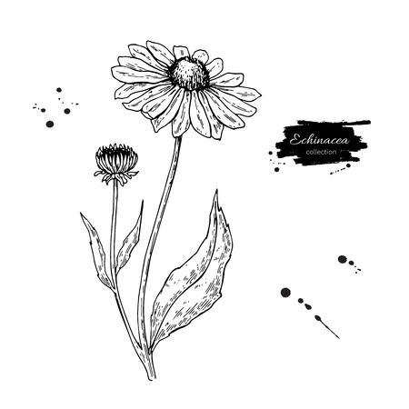 Calendula drawing. Isolated medical flower and leaves. Herbal engraved style illustration.