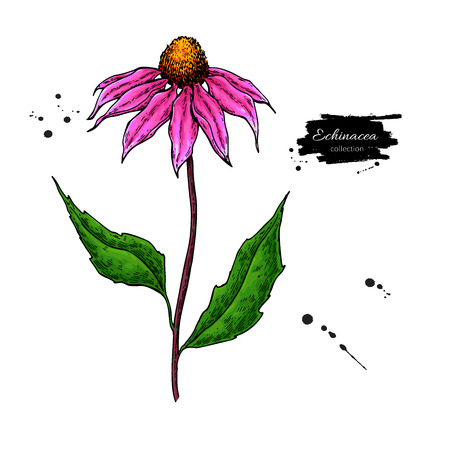 Echinacea vector drawing. Isolated purpurea flower and leaves. Herbal artistic style illustration. Detailed botanical sketch for tea, organic cosmetic, medicine, aromatherapy