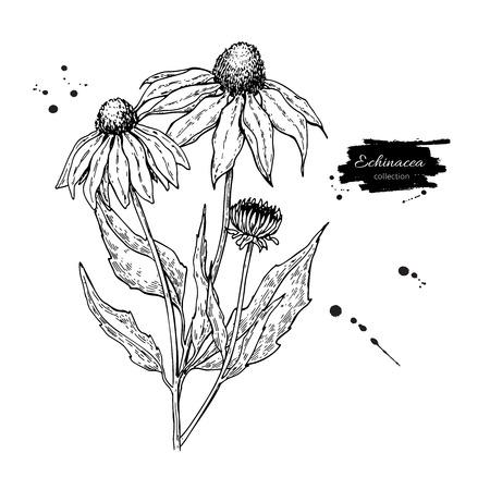 カレンデュラ ベクトルを描画します。分離医療花と葉。ハーブの刻まれたスタイルの図。  イラスト・ベクター素材