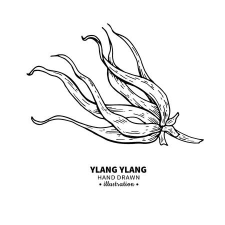 Ylang ylang vector de dibujo. Ilustración vintage aislado de flor médica. Bosquejo del estilo grabado aceite esencial orgánico. Belleza y spa, ingrediente cosmético. Foto de archivo - 82364783