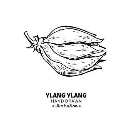 Ylang ylang vector de dibujo. Ilustración vintage aislado de flor médica. Bosquejo del estilo grabado aceite esencial orgánico. Belleza y spa, ingrediente cosmético. Ilustración de vector