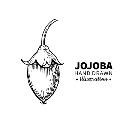 medical drawing: Jojoba vector drawing. Isolated vintage  illustration of  fruit. Organic essential oil engraved style sketch. Beauty and spa, cosmetic ingredient. Great for label, poster, flyer, packaging design.