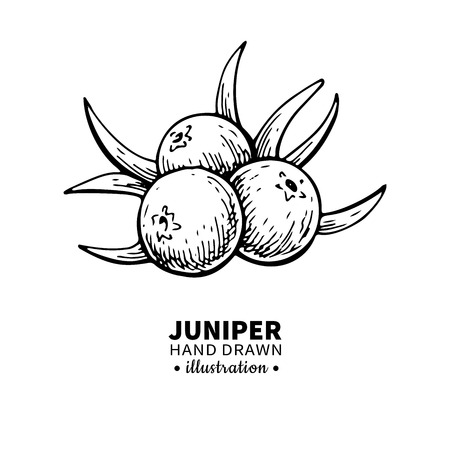Juniper vector drawing. Isolated vintage  illustration of berry on branch. Organic essential oil engraved style sketch. Beauty and spa, cosmetic ingredient.