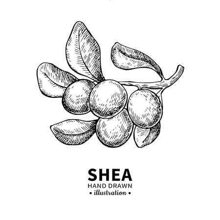 Sheaboter vectortekening. Geïsoleerde uitstekende illustratie van bes op tak. Biologische gegraveerde stijlschets met essentiële olie. Schoonheid en spa, cosmetisch ingrediënt.