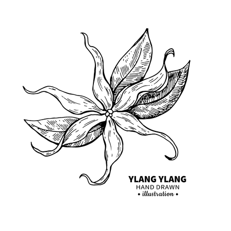 Ylang ylang dibujo vectorial. Ilustración aislada de la vendimia de la flor médica. Aceite esencial orgánico grabado estilo bosquejo. Belleza y spa, ingrediente cosmético. Grande para la etiqueta, el cartel, el aviador, el diseño de empaquetado. Ilustración de vector