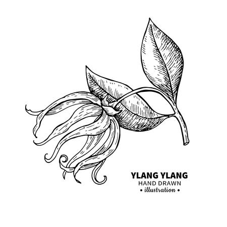 Ylang ylang dibujo vectorial. Ilustración aislada de la vendimia de la flor médica. Aceite esencial orgánico grabado estilo bosquejo. Belleza y spa, ingrediente cosmético. Grande para la etiqueta, el cartel, el aviador, el diseño de empaquetado.