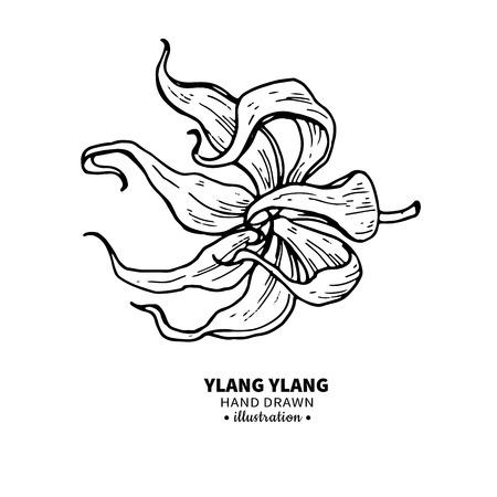 Ylang ylang dibujo vectorial. Ilustración aislada de la vendimia de la flor médica. Aceite esencial orgánico grabado estilo bosquejo. Belleza y spa, ingrediente cosmético. Grande para la etiqueta, el cartel, el aviador, el diseño de empaquetado. Foto de archivo - 82683570