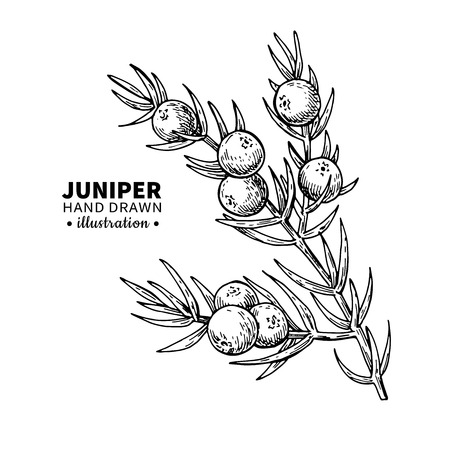 Juniper vector drawing. Isolated vintage  illustration of berry on branch. Organic essential oil engraved style sketch. Beauty and spa, cosmetic ingredient. Great for label, poster, flyer, packaging design.