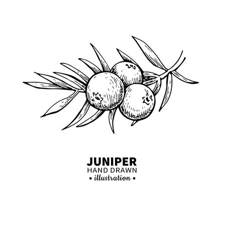 enebro: Juniper dibujo vectorial. Aislado vintage ilustración de la baya en la rama. Aceite esencial orgánico grabado estilo bosquejo. Belleza y spa, ingrediente cosmético. Grande para la etiqueta, cartel, aviador, diseño de empaquetado.