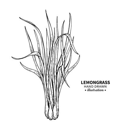 레몬 그라스 벡터 드로잉입니다. 잎의 고립 된 빈티지 그림입니다. 유기농 에센셜 오일 새겨진 스타일 스케치. 미용 및 스파, 화장품 및 차 성분. 레이 일러스트