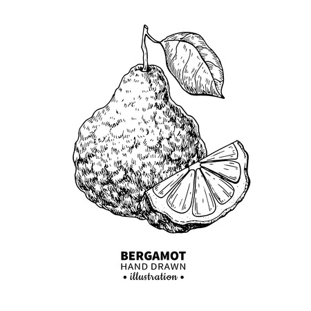 Bergamot vector drawing. Isolated vintage  illustration of citru Stock Photo