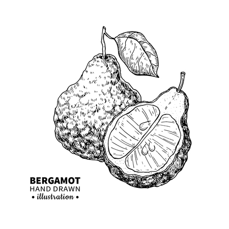bode: Bergamot vector drawing. Isolated vintage  illustration of citru Stock Photo