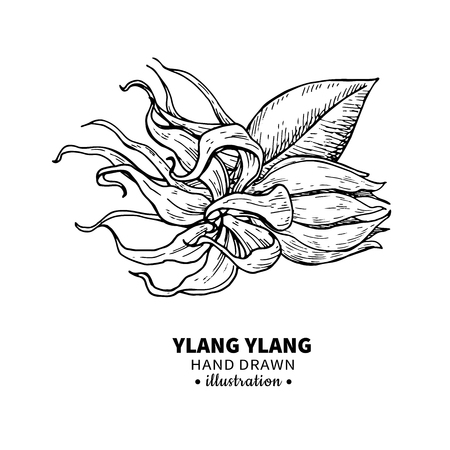 Ylang ylang dibujo vectorial. Aislado vintage ilustración de mí