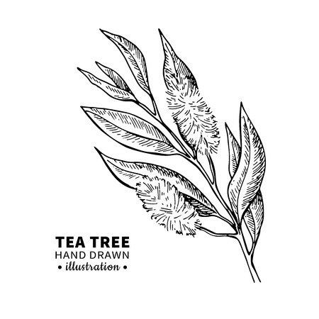 Tea tree vector drawing. Isolated vintage illustration of medical plant leaves on branch. Stock Photo