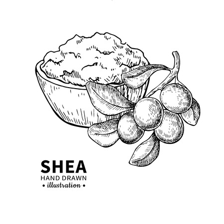 Shea butter vector drawing. Isolated vintage illustration of nuts. Organic essential oil engraved style sketch. 版權商用圖片