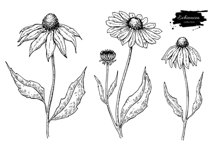 Calendula vector tekening. Geïsoleerde medische bloem en bladeren. Kruiden gegraveerde stijlillustratie. Vector Illustratie
