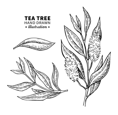 Tea tree vector drawing. Isolated vintage illustration of medical plant leaves on branch. Illustration