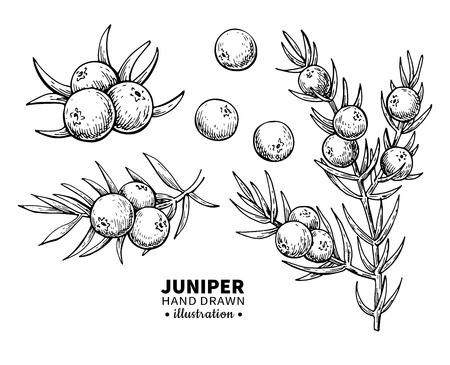Juniper vector tekening. Geïsoleerde uitstekende illustratie van bes op tak. Biologische gegraveerde stijlschets met essentiële olie. Schoonheid en spa, cosmetisch ingrediënt. Geweldig voor label, poster, flyer, verpakkingsontwerp.