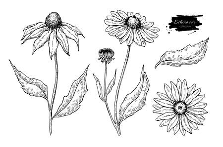 Echinacea vector tekening. Geïsoleerde bloem en bladeren. Kruiden gegraveerde stijlillustratie. Gedetailleerde botanische schets voor thee, organische cosmetica, medicijnen, aromatherapie