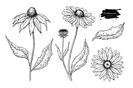 echinacea: Echinacea vector drawing. Isolated flower and leaves. Herbal engraved style illustration. Detailed botanical sketch for tea, organic cosmetic, medicine, aromatherapy