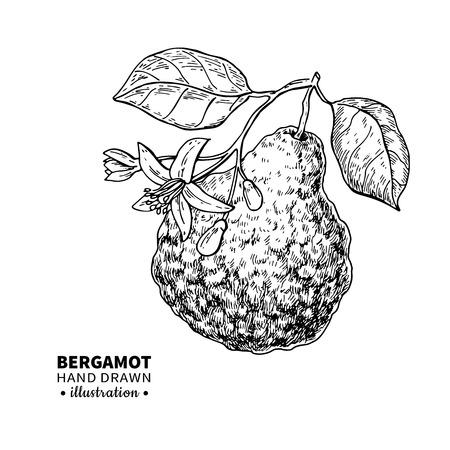 Bergamot vector Illustration