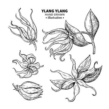 Ylang ylang vector drawing. Isolated vintage  illustration of me