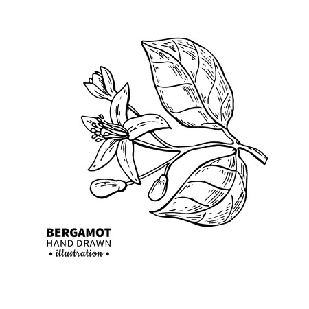 Bergamot flower branch vector drawing. Isolated vintage illustration of citrus blooming flower.