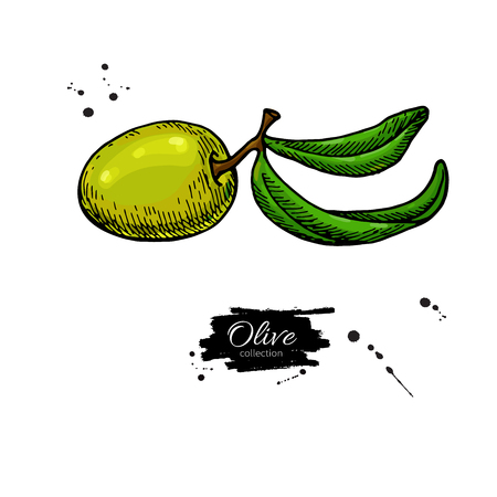 Olive branch. Hand drawn vector illustration. Isolated drawing on white background. Colorful plant with green fruits