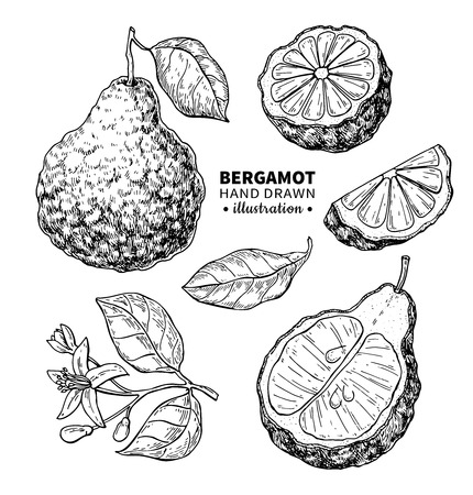 Bergamot vector drawing. Isolated vintage illustration of citrus fruit with slices. Organic food. Essential oil Ilustracja