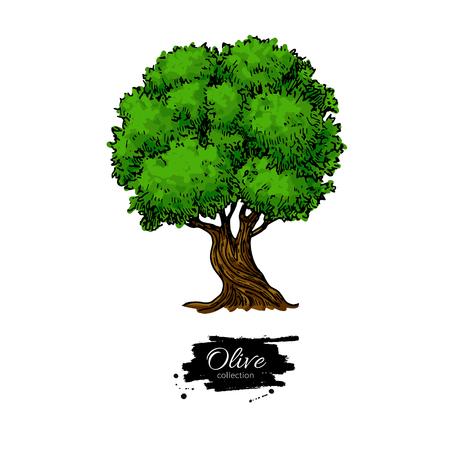 Olive tree. Hand drawn vector illustration. Vintage botanical drawing.
