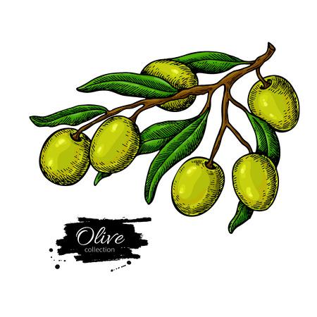 オリーブの枝。手には、ベクター グラフィックが描画されます。白い背景の上に描画を分離しました。緑の果実を持つカラフルな植物