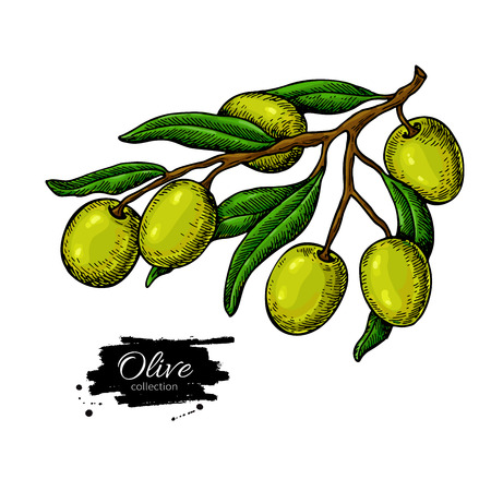 Olijftak. Hand getrokken vectorillustratie. Geïsoleerde tekening op witte achtergrond. Kleurrijke plant met groen fruit