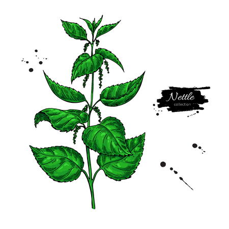 Nettle vector drawing. Isolated medical plant with  leaves. Herb
