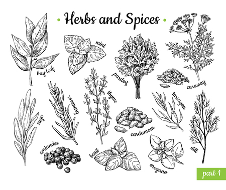 Herbs and Spices. Hand drawn vector illustration set. Engraved style flavor and condiment drawing. Botanical vintage food sketches. Mint, oregano, caraway, coriander, basil, dill and etc. Ilustracja