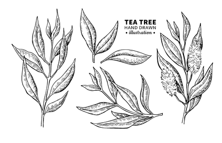 Tea tree leaf drawing.