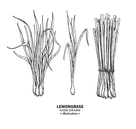 Lemongrass vector drawing. Isolated vintage illustration of leaves. Organic essential oil engraved style sketch.