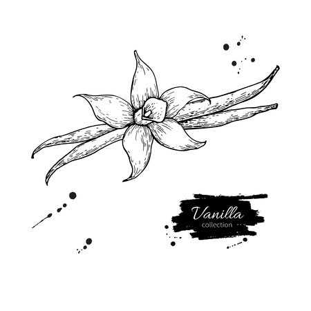 Vanilla flower and bean stick vector drawing. Hand drawn sketch food illustration isolated on white. Engraved style spice and flavor object. Cooking and aromaterapy ingredient.